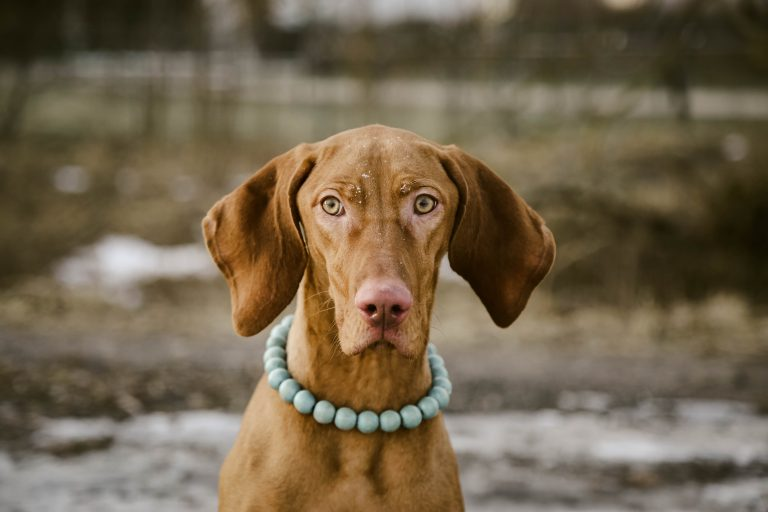 image of brown dog staring straight at the camera, with a collar on that looks like a necklace of large green beads